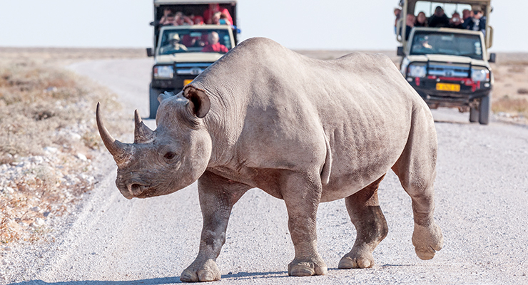 black rhinoceros with safari vehicles
