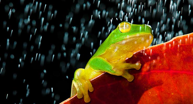 green tree frog sitting on red leaf in rain