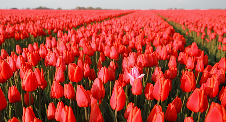 one pink tulip among red in field holland